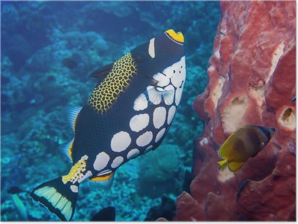 Plakát Klaun triggerfish - Vodní a mořský život