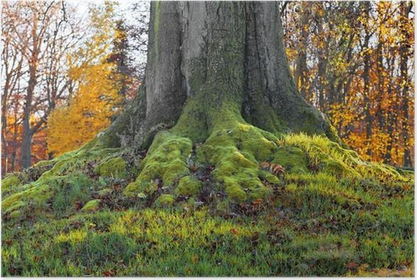 Plakát Krajina s podzimním lese. Silné kořeny starých stromů. Aut - Květiny