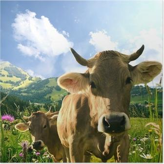 Plakat Krowy