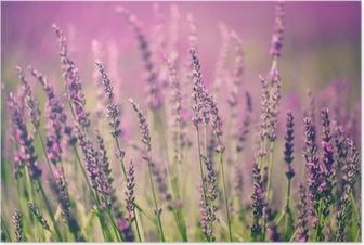 Plakat Kwiat lawendy
