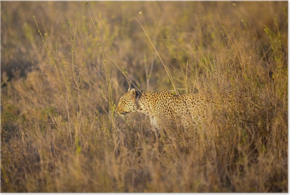 Plakát Leopard lov v Serengeti - Afrika