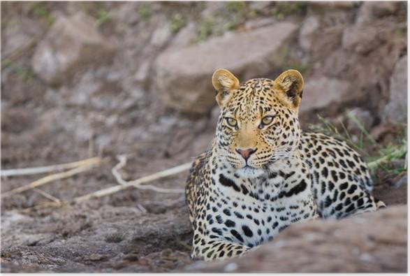 Plakát Mladý muž leopard - Savci