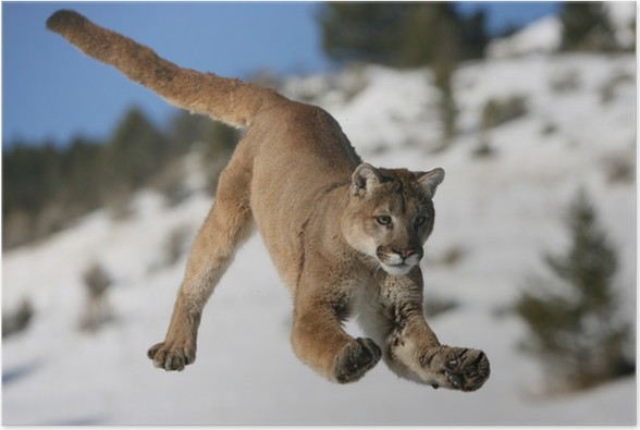 Plakát Mountain Lion jumping - Lvi