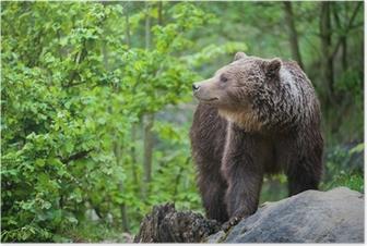 Plakat Niedźwiedź brunatny (łac. Ursus arctos)