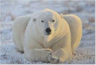Plakat Niedźwiedź polarny leżącego w tundrze.