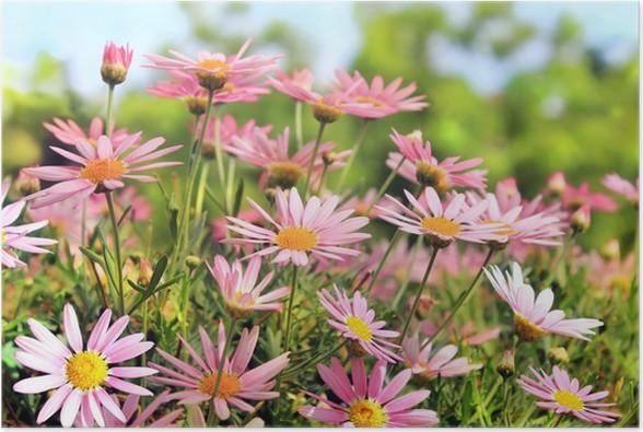 Plakát Oblast růžové camomiles - Květiny