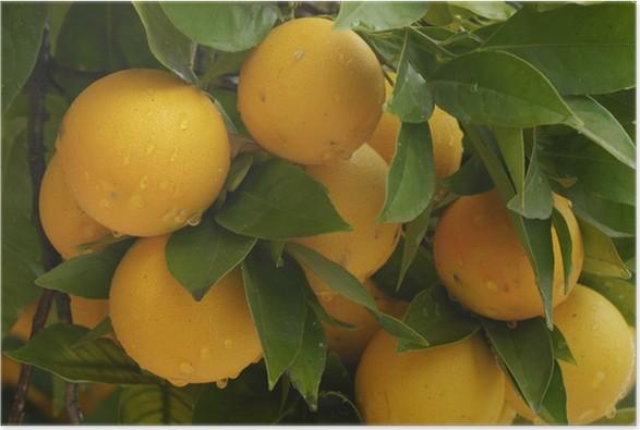 Plakát Orangen Hangen am Baum - Ovoce