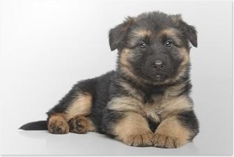 Plakat Owczarek niemiecki puppy na białym tle
