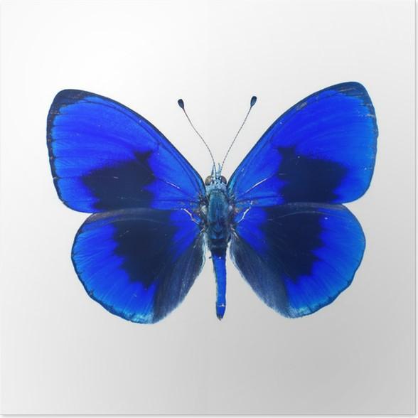Plakát Papillon sur fond blanc en haute definice - Ostatní Ostatní
