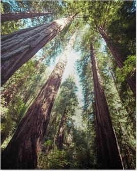 Plakat Park Narodowy Redwood w Kalifornii, USA
