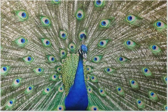 Plakát Páv s peřím ven - Ptáci
