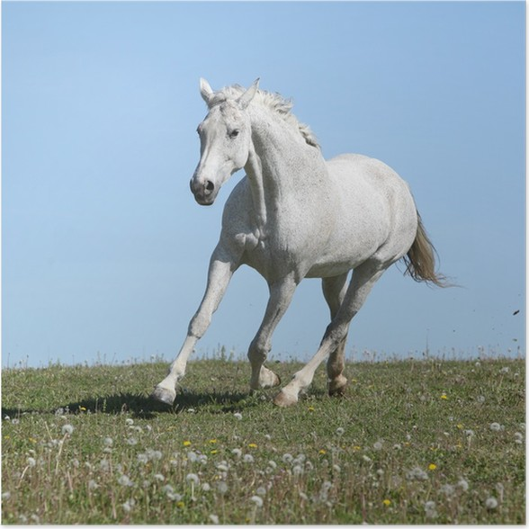 Plakát Pěkný bílý kůň běží na jarní pastviny - Savci