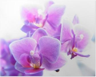 Plakat Phalaenopsis
