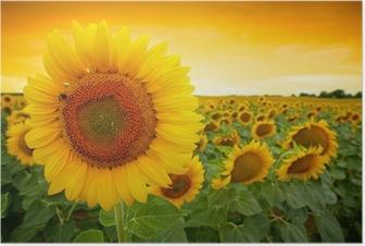Plakat Pole słonecznika