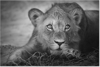 Plakat Portret młodego lwa