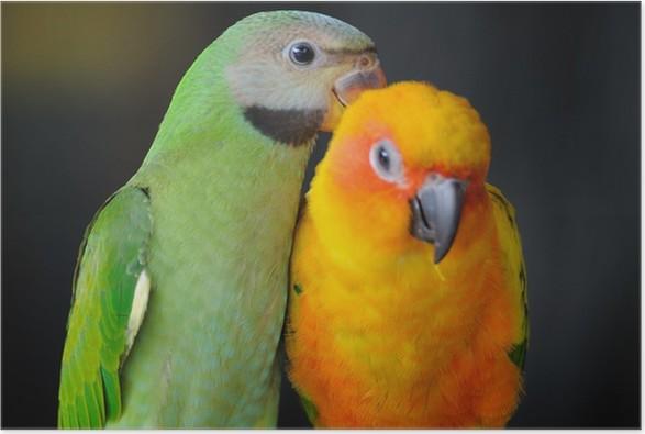 Plakát Překrásná roztomilých Red-breasted Parakeet, v akci - Témata