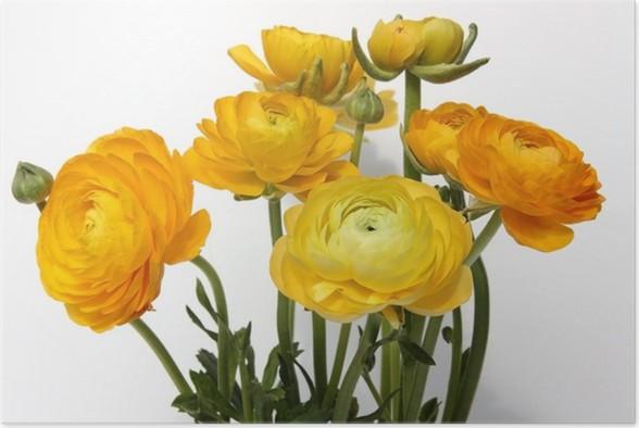 Plakát Pryskyřník - Květiny