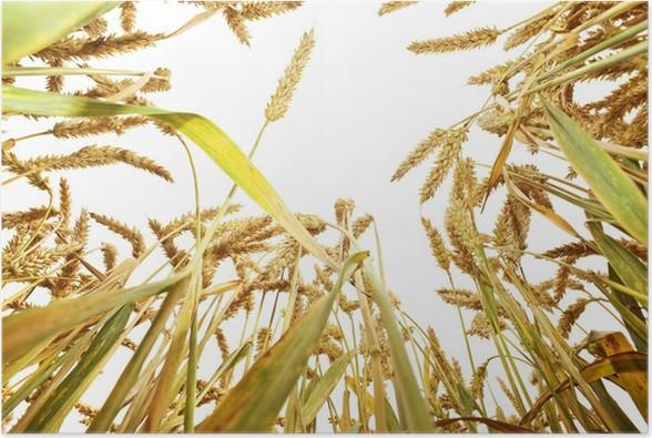 Plakát Pšenice uši na bílém pozadí - Semena