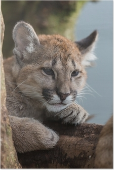 Plakát Puma Cub