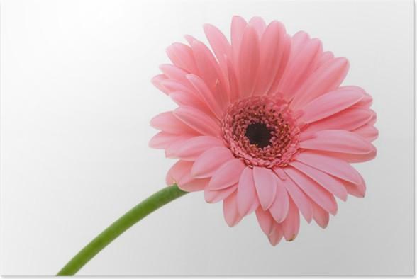 Plakát Red daisy flower - Květiny