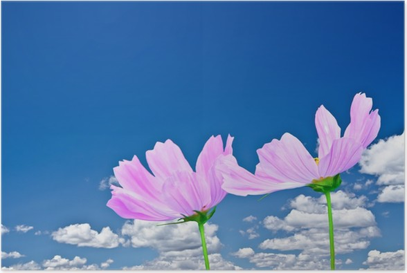 Plakát Růžová Cosmo sedmikrásky a jasně modrá obloha s krásnými mraky - Ekologie