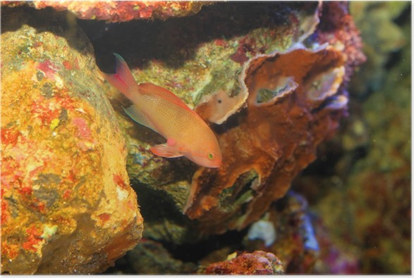 Plakát Růžová víla basslett (Pseudanthias hypselosoma) ženského - Vodní a mořský život