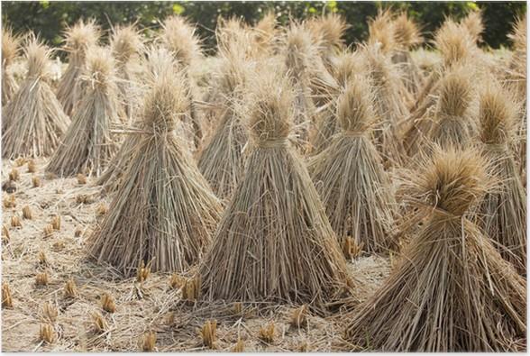 Plakát Rýže svazek po sklizni na poli - Semena