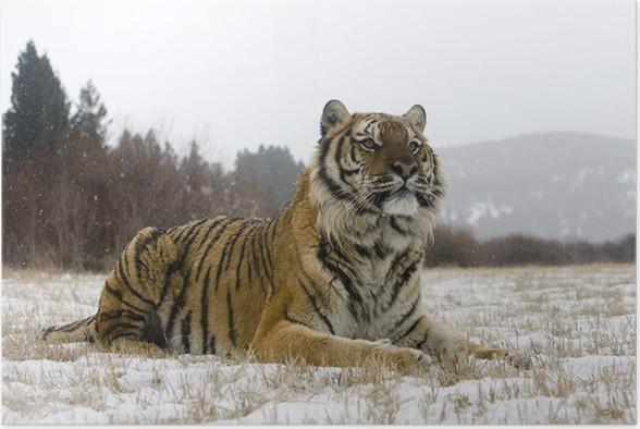 Plakát Sibiřský tygr Panthera tigris altaica - Témata