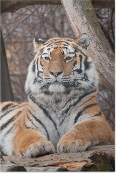Plakát Sibiřský tygr - Témata