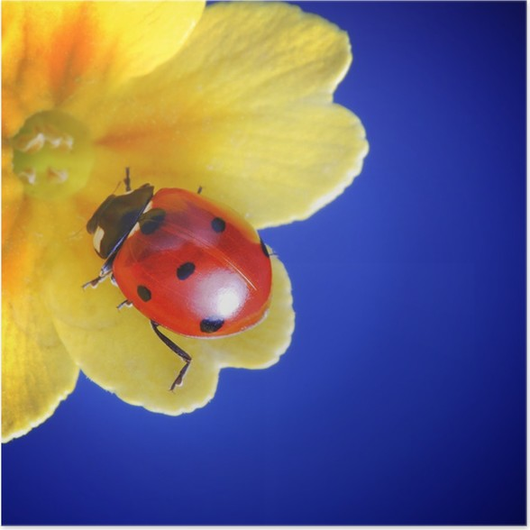 Plakát Slunéčko sedmitečné - Květiny
