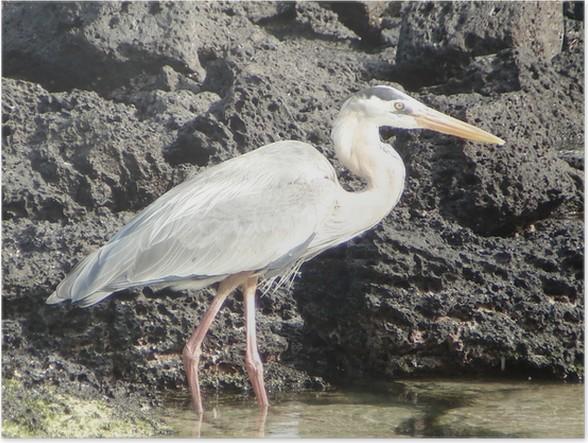 Plakát Stříbřitá na Galapágách - Ptáci