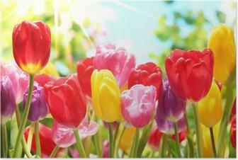 Plakat Świeże tulipany w ciepłe światło słoneczne