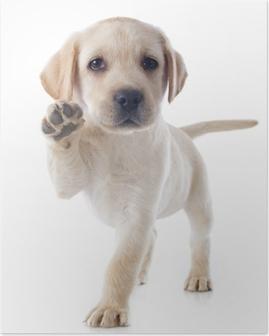 Plakat Szczeniak labrador retriever
