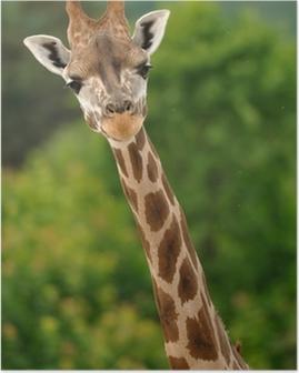Plakat Szef żyrafa z szyi