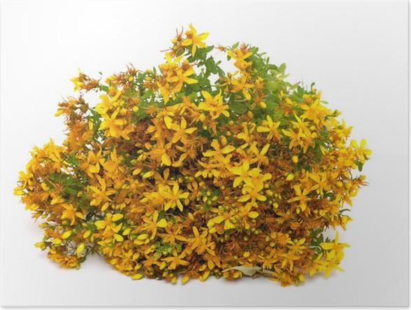 Plakát Třezalka tečkovaná (Hypericum perforatum, třezalky), květiny na bílém - Koření a bylinky