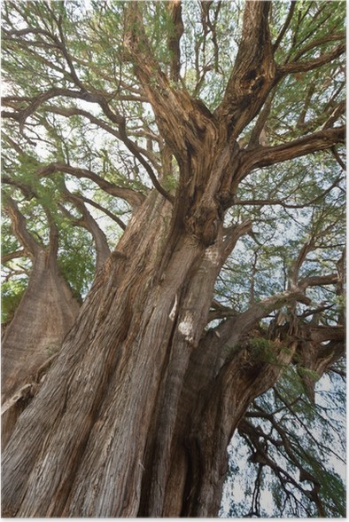 Plakát Tule strom v Mexiku - Přírodní krásy