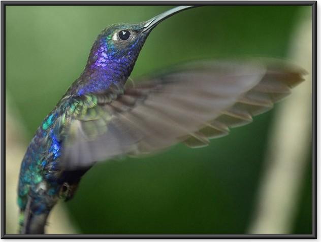 Plakát v rámu Kolibřík - Kolibříci