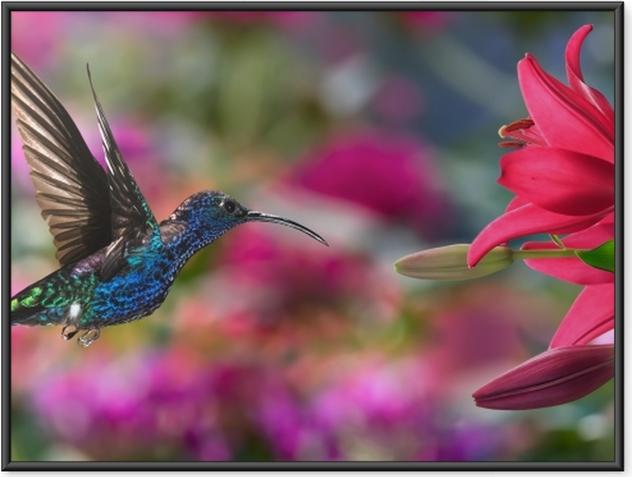Plakát v rámu Muž fialová sabrewing - Kolibříci