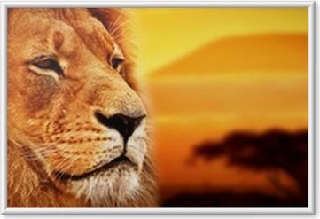 Plakat w ramie Portret lwa na sawannie. Kilimandżaro o zachodzie słońca. safari