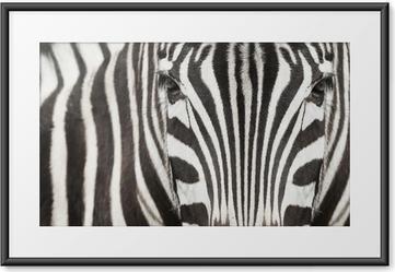 Plakat w ramie Zbliżenie głowy zebry i ciało z pięknym wzór w paski