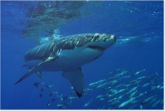 Plakat Wielki biały rekin
