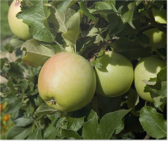 Plakát Zuccalmaglio; Apfel - Ovoce