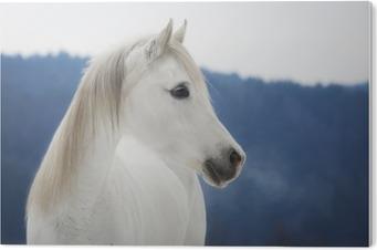 Plexiglas Print Weiße Vollblut Araber Stute im Schnee