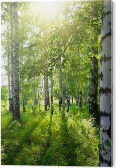 Plexiglas Print Zomer berkenbossen met zon