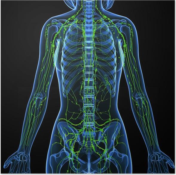 Poster 3d Anatomie der weiblichen Lymphsystem • Pixers® - Wir leben ...