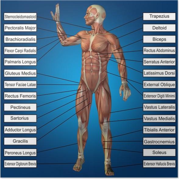 Poster 3D menschlichen männlichen Anatomie mit Muskeln und Text ...