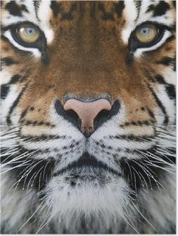 Poster A Tiger