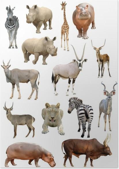 Poster Afrikanische Tiere Sammlung Isoliert
