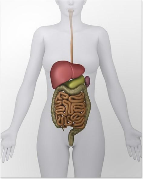 Poster Anatomie des weiblichen Verdauungssystem Organe - anerior ...
