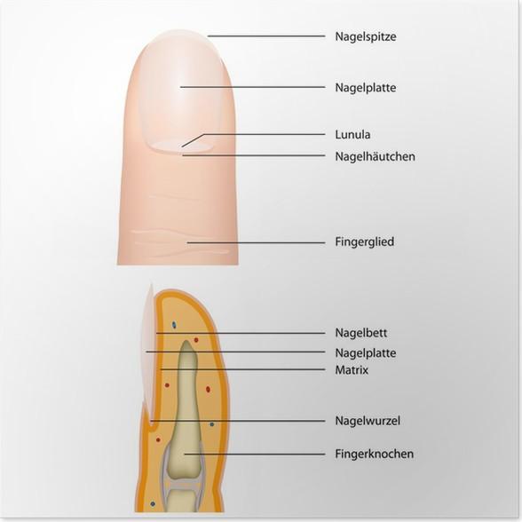 Poster Anatomie finger nagel, Vektor-Illustration • Pixers® - Wir ...